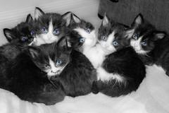 Pouliot Farm 2013-10 (melbaczuk) Tags: cats canon blueeyes kittens kelowna rampone canon7d