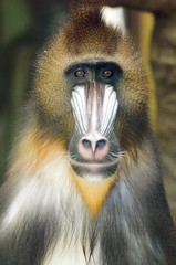 Mandrill (floridapfe) Tags: animal zoo monkey nikon korea mandrill everland