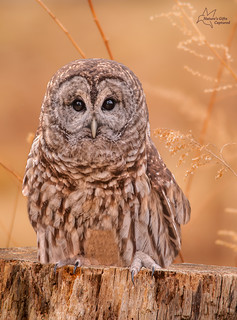 Barred Owl Stare on the Stump