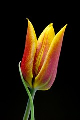 Simple Elegance Black (patch.1313) Tags: black flower color nikon flash tulip nikkor lowkey speedlight 1685mmf3556gvr capturenx2 sb910