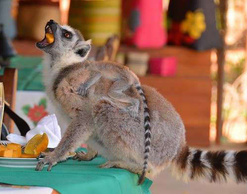 "Greedy ""Ring-tailed Lemurs"" - breakfast included at Berenty reserve?"