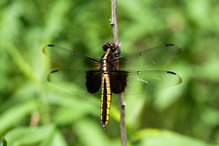"Dragonfly on stem • <a style=""font-size:0.8em;"" href=""http://www.flickr.com/photos/30765416@N06/11393147685/"" target=""_blank"">View on Flickr</a>"
