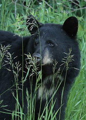 Black Bear...#32 (Guy Lichter Photography - Thank you for 2.5M views) Tags: canada animal animals canon wildlife bears manitoba mammals ridingmountainnationalpark canon14xteleconverter canon70200mmf4l bearblack 5d3 amazingwildlifephotography