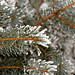 Frost Covered Pine Tree Needles