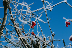 Berries and ice (davekellam) Tags: ontario canada ice branches icestorm brockville