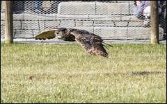 (Adisla) Tags: madrid bird zoo flight olympus ave f2 em1 volar 150mm zd150mm