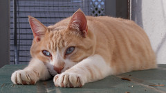 Stanley (No_Water) Tags: blue red orange brown white cat ginger eyes tiger stanley