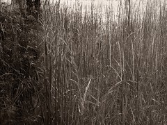 (carolus_croque) Tags: sepia hierba virado