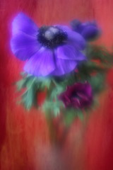(suzanne~) Tags: flowers blue red flower texture lensbaby vibrant indoors anemone bloom windflower flypaper windrschen