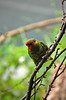 Mount Apo Lorikeet