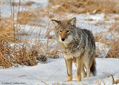 Prairie Wolf (Windows to Nature) Tags: