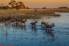 African Wild Dogs on an early morning hunt (reweaver33) Tags: africa animals botswana mammals africanwilddog lagooncamp