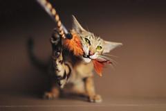 Richard_8865 (keesoonee) Tags: cat canon kitten russia moscow portait tiger kitty hunter oriental osh canon50mm12 canoneos5dmarkiii