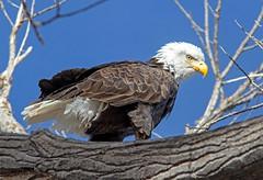 Bald Eagle (Ed Sivon) Tags: vegas lake southwest bird nature canon eagle lasvegas wildlife nevada bald 300mm national birdofprey nevadadesert