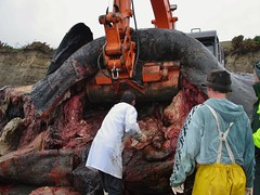 Sperm whale necropsy (Roving_photographer) Tags: newzealand male bull autopsy spermwhale capepalliser necropsy physeter