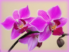 Orchid (Stella VM) Tags: pink flowers orchid flower colour rosa