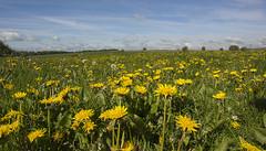 Dandelions (l4ts) Tags: landscape derbyshire peakdistrict meadow sheldon dandelions whitepeak minoltaamount britnatparks
