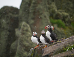 Puffins (Fratercula arctica), Isle of May (Niall Corbet) Tags: island scotland fife puffin seabird firthofforth isleofmay fraterculaarctica nnr nationalnaturereserve