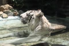 ホワイトタイガーも水風呂
