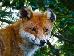 Fox Stare (Deepgreen2009) Tags: roof england home animal garden mammal intense watching shed surrey fox stare epsom