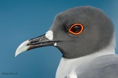 Gaviota Tijereta, (Creagrus furcatus). Swallow-tailed Gull. (Sergio Bitran M) Tags: bird ecuador gull galapagos ave gaviota 2014 charadriiformes