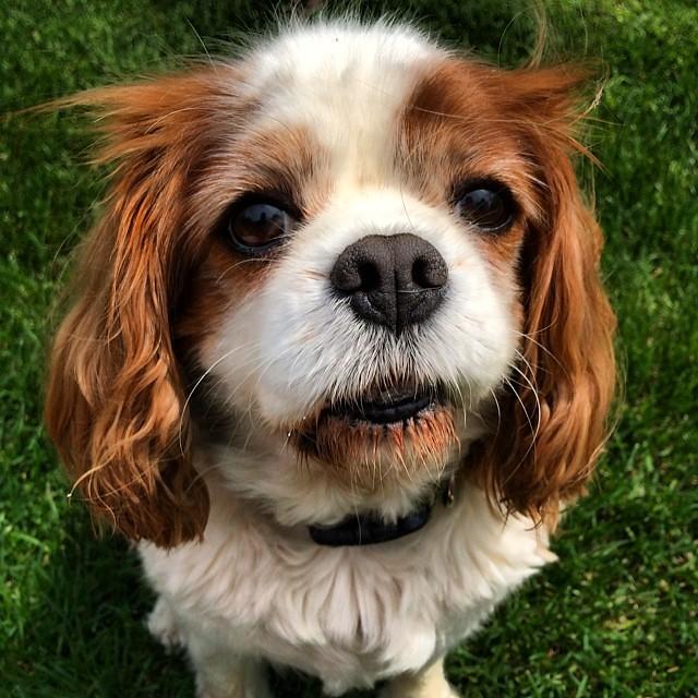 Good Cavalier Canine Adorable Dog - 14466854232_e8758b0825_b  Snapshot_94650  .jpg