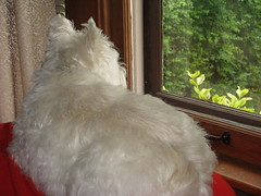 "7/12A ~ ""Watching For Squirrels"" (ellenc995) Tags: riley westie westhighlandwhiteterrier 12monthsfordogs14 couch squirrels waiting watching thesunshinegroup supershot coth rubyphotographer coth5 pet100 challengeclub thegalaxy abigfave 100commentgroup"