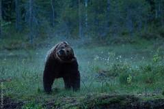 Wet bear (aj 1982) Tags: bear summer dog brown male wet finland shower european shake testosterone soaked 2014 martinselkonen martinselkosenerkeskus