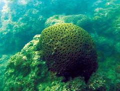 Knob Coral (Mohammad Arju) Tags: coral marine knob biology bangladesh underwaterphotography favia saintmartinsisland coralcolony
