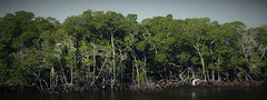Red Mangrove (Rhizophora mangle) forest, John Pennekamp Coral Reef State Park, Key Largo, FL (2016) (Pablo L Ruiz) Tags: mangroves redmangrove johnpennekamp water trees keylargo florida birds nikond3200 d3200