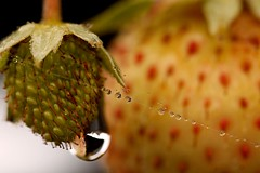 Wet webs, more strawberries (AngharadW) Tags: seeds spidersweb droplets green strawberry wet