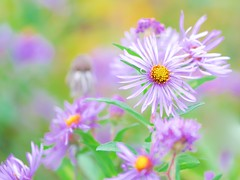 Wildflowers in High Key (imageClear) Tags: highkey beauty nature color wildflowers fall asters macro bokeh lovely apeture nikon d500 105mm 105mmf28 imageclear flickr photostream purple