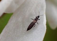 Thrip Thysanoptera (Bugldy99) Tags: atelocerata neoptera pterygota terebrantia aeolothripidae aeolothrips animal arthropod arthropoda hexapod hexapoda thysanoptera insect insecta bug