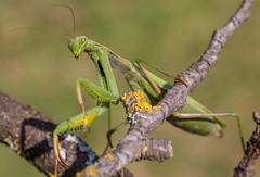 Mante 24 (Jeaunse23) Tags: mantis mantisreligiosa macro insect france ardeche