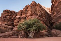 The Trees of Wadi Rum - Jordan (M. Khatib) Tags: tree desert jordan wadirum heritage culture environment unesco