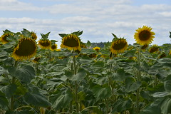 Tournesols  l'ombre (Flikkersteph -4,000,000 views ,thank you!) Tags: rural landscape nature summer beautiful plantation sunflowers countryside fields clearsky champagneetfontaine prigord france