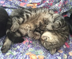 So Comfortable (alasam) Tags: gandalf exotic shorthair persian cat feline familypet