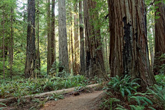 Jedediah Smith Redwoods, North Coast of California (alanmeyer.california) Tags: jedediahsmithredwoods scenic landscape redwoods rainforest forest california northcoast crescentcity