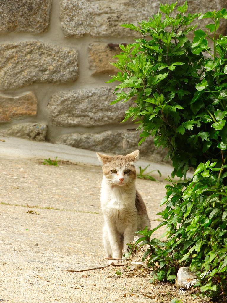 Águas Frias (Chaves) - ... um gato doméstico ... atento à câmara ...