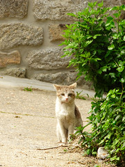 guas Frias (Chaves) - ... um gato domstico ... atento  cmara ... (Mrio Silva) Tags: guasfrias aldeia chaves trsosmontes portugal ilustrarportugal madeinportugal mriosilva 2016 novembro outono lumbudus gato animal animais domstico