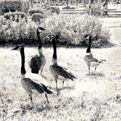 four geese in the grass (Pejasar) Tags: monochrome contrast high goose geese grass blackandwhite bw nature birds