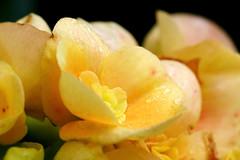 Miniature Begonia {Explored} (Garry9600) Tags: lumix fz200 winnipeg manitoba canada cans2s intheyard begonia flower closeup macro canon500d autumn outdoor droplets explore 1000views