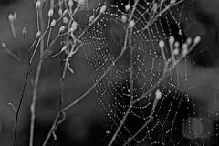 Cobweb (heiko.moser (+ 9.500.000 views )) Tags: cobweb noiretblanc nb nero nature natura nahaufnahme natur monochrom mono bw blackwihte blancoynegro spinnennetz sw schwarzweiss schwarzweis woods wald tropfen drops draussen outdoor entdecken einfarbig heikomoser