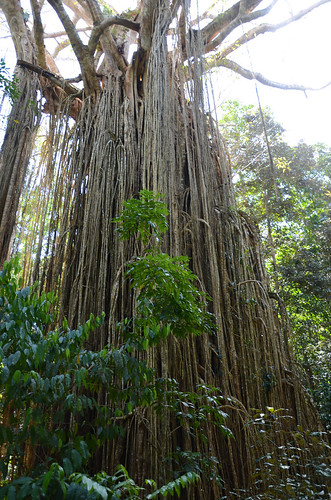 DSC_5848 curtain fig tree, Yungaburra National Park, Queensland