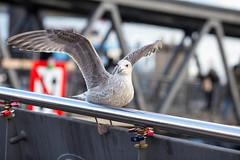 Vogel an den Landungsbrcken (kevin.hackert) Tags: flgel hamburg landungsbrcken stange vogel flgel landungsbrcken