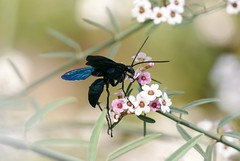 blue insect (Stefan Giese) Tags: namibia afrika africa insekt insect tier blau schwaz blue black