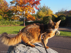 Rags on the rocks - for Happy Caturday (Finn Frode (DK)) Tags: cats pose granite boulder stone walk leash rags dusharatattersandrags somali somalicat som olympus omdem5 denmark animal pet cat outdoor happycaturday