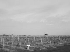 gazebo (vfrgk) Tags: vine vineyards plants grapes wine winery gazebo symmetry skyline vastness sky nature pavilion bw blackandwhite monochrome peaceful calmness serenity lines pattern geometric