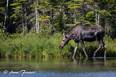 Mama Moose walking along... (Anne Marie Fraser) Tags: mama moose walking water pond mountains nature wildlife wild