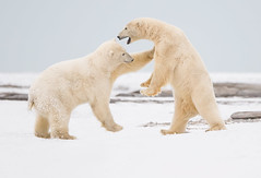 Polar Bears Sparing (AaronBaggenstos) Tags: wildlife photography tours workshops grizzly bear